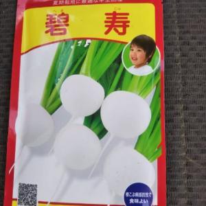 台湾白菜とカブの種まき