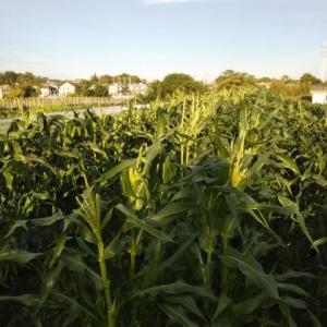 収穫と消毒