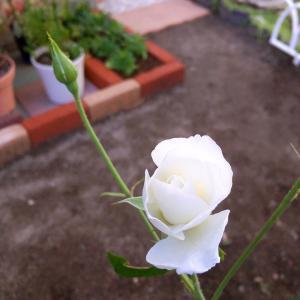 美しき白バラ*アイスバーグと義母の一周忌 * 子猫