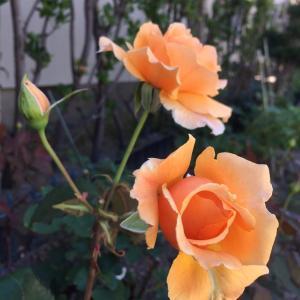 見事復活したバラ*ゼラニウム