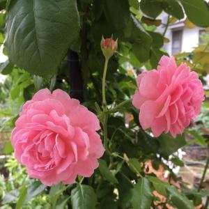 儚い夏バラと元気な夏の花*