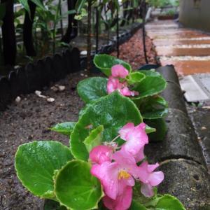 真夏の雨ふる今日の庭から*