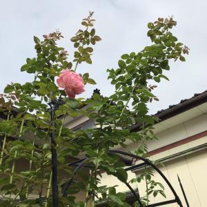 ムシっと暑い日*バラの芽かき*