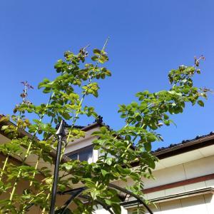 月桂樹とミモザアカシア*