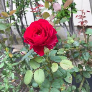 真紅のバラとガウラ・小紅*