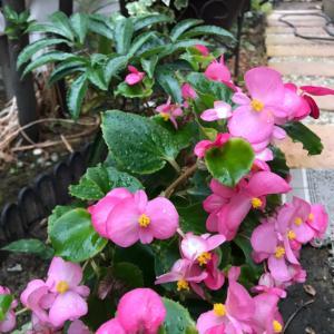 チューリップの植え付け*半日陰でも咲く花