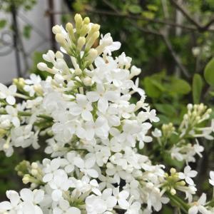11年ぶりに咲いたライラックと今日の庭から〜*