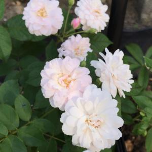 今日の夏バラたち♡