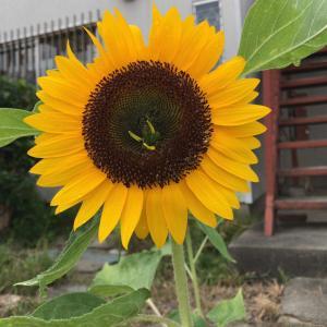 向日葵とコキア。