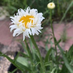 キク科のお花とバラの台芽*