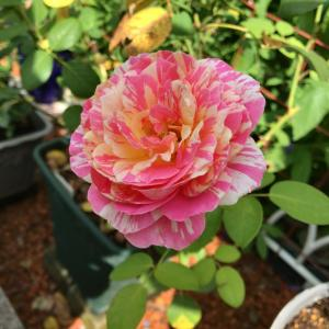 今日咲いてる夏顔のバラたち♡