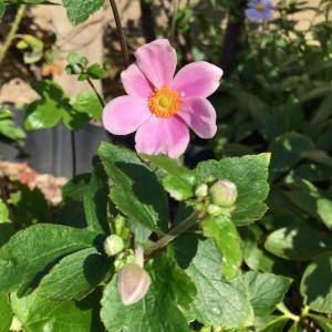 秋明菊咲いてる*今日の庭から*