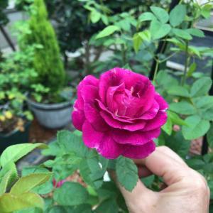渋い色の新入りさんと今日の庭から〜*
