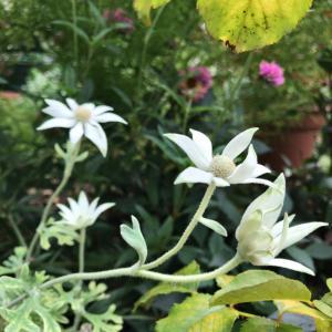 フランネルフラワー咲く*初秋の庭から*
