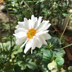 白八重の秋明菊咲いてる今日の庭から*