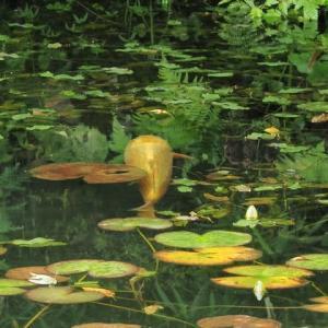 モネの池・・・鯉