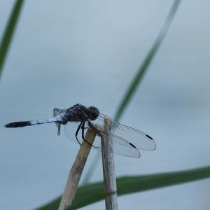とんぼ・・・トンボ・・・蜻蛉