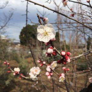 2020  経 4-1  白梅、枝垂れ白梅、赤梅そして梅、桃、桜の見分け方