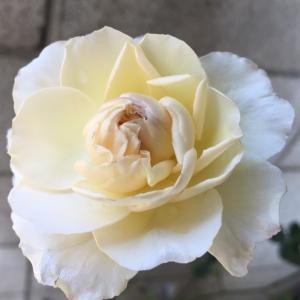 2020  経 4-4  薔薇 プリンセス シャルレーヌ