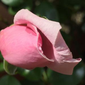 2020  経 4-6  やっと咲いて来た薔薇  太陽ありがとう♡朝ごパン