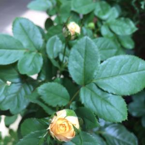 2020  経 4-7  薔薇が咲いている♡ゴーヤの花が?!朝ごパン