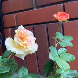 2020 経 4-8 今朝は甘いパン❤️昼はゴーヤチャンプルー❤️薔薇PEACEが咲きました。