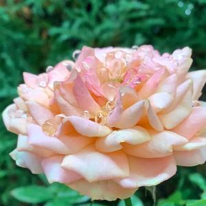 2020 経 4-8 雨の日の薔薇、秋明菊、ナス、ピーマン♡ご飯