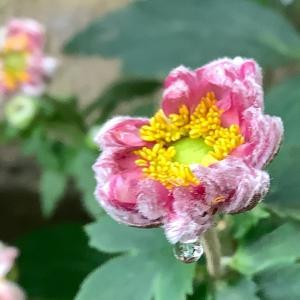 2020 経 4-9 薔薇(((o(*゚▽゚*)o)))♡ラディッシュ♡朝ごパン