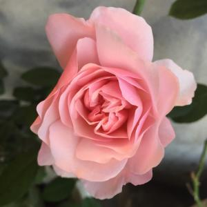 2020 経 4-9 キレイに咲いた薔薇ほとんどピンクの花特集?!おうちパン