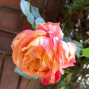 2021 経 4-12  寒いのに薔薇が咲いている♡おうちごはん