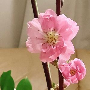 2021 経 5-1  桃の花&パン♡Christmas Rose&薔薇♡おうちごはん