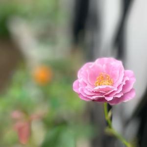 2021  経  5-5  薔薇でウキウキ❤️クラムチャウダー