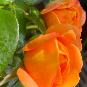 2021  経  5-5  突然の断水(*⁰▿⁰*)薔薇達に水あげておいて良かった❤️
