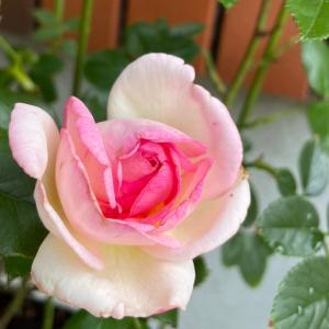 2021 経  5-5  薔薇を庭に戻して❤️