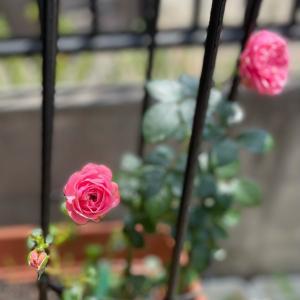 2021  経  5-5  7月は忘れられない月、卵巣ガンの兆候☆薔薇♡朝ごパン&おやつ