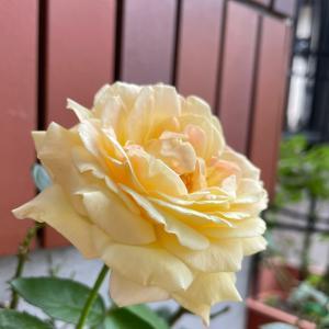 2021  経 5-6  薔薇が咲いた〜♪♪サリサリカレー