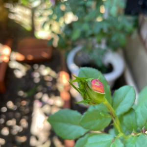 2021  経  5-8  秋の光り&薔薇❤️秋の味覚
