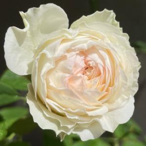 2021  経  5-8  薔薇の季節♡少し早い気がする。