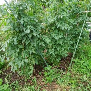 トマト収穫スタートです!!