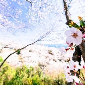 正福寺山公園の桜 -2020.4.6-