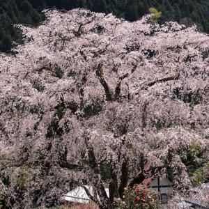 湯の山温泉のしだれ桜(竹下桜) -2021.3.25-