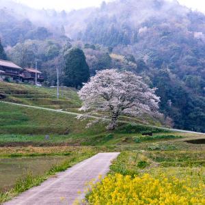 井川の一本桜 -2021.3.29-
