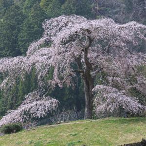 与一野のしだれ桜 -2021.3.29-