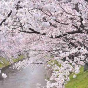 ねがはくは 花のもとにて 春死なむ