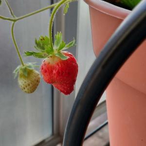 DMCのミニトマト栽培キット