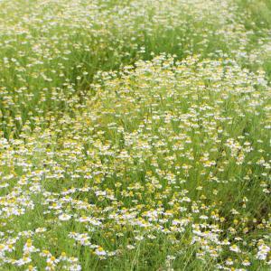 カモミール畑☆
