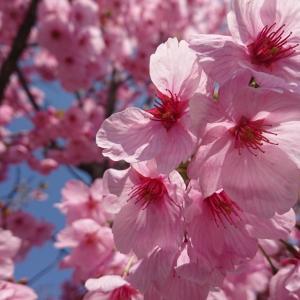 村松公園 桜花見ラン