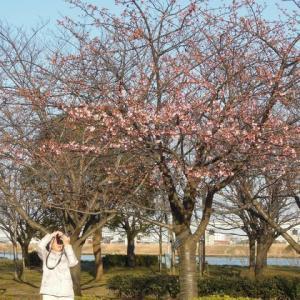 マッキーの『四季を楽しむ』:河津桜が咲き始めた!