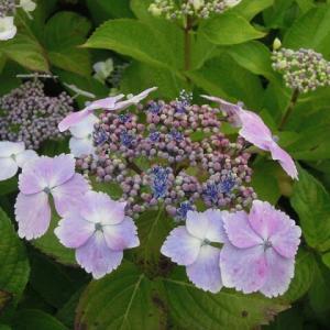 マッキーの「四季を楽しむ」:梅雨の走りの時期・アジサイの花