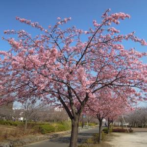 マッキーの『四季を楽しむ』:近隣のカワヅザクラが満開
